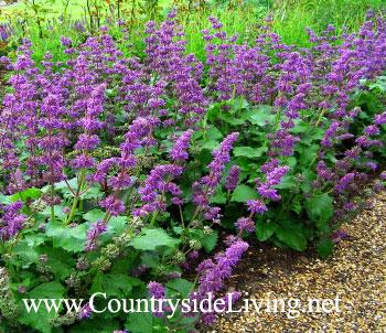 Сальвия мутовчатая 'Пурпурный дождь'. Salvia verticulata 'Purple Rain'