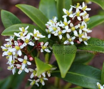 Скиммия (скимия) японская (Skimmia japonica). Ягоды на женском растении
