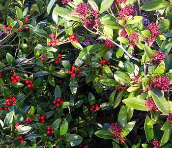 Скиммия (скимия) японская (Skimmia japonica): мужское и женское растения
