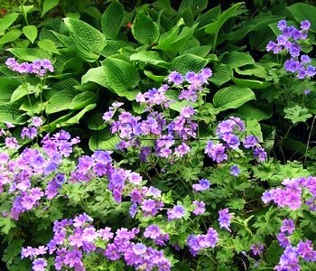 Почвопокровные растения герань