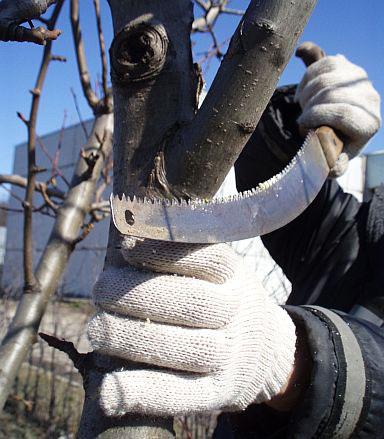 Обрезка плодовых деревьев. 1. Удалите все побеги, отходящие от ствола под острым углом