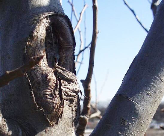 Обрезка плодовых деревьев. 10. След от неправильного среза, повлекшего травму дерева