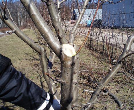 Обрезка плодовых деревьев. Мастеркласс. 2. Укоротите ствол