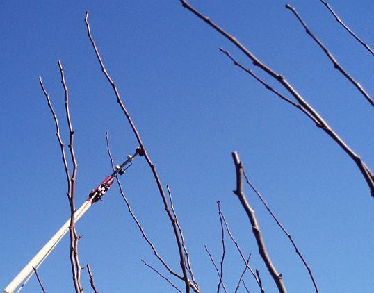 Обрезка плодовых деревьев. Мастеркласс. 4. Укоротите на треть весь молодой прирост