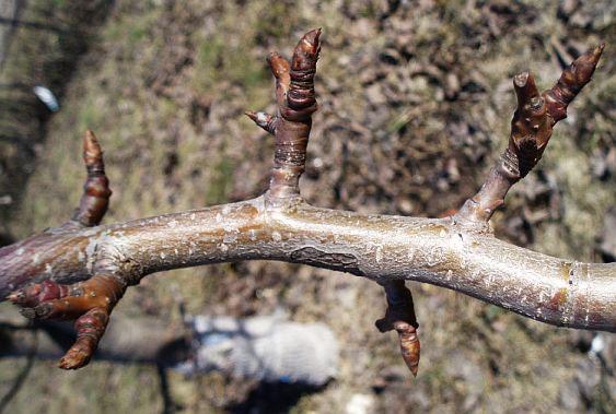 Обрезка плодовых деревьев. Мастеркласс. 5. НЕ ОБРЕЗАЙТЕ плодушки, на которых образуются цветы и плоды