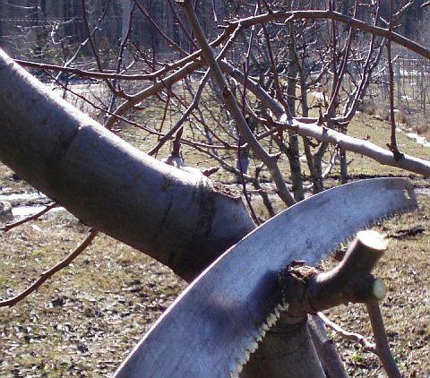 Обрезка плодовых деревьев. 6. При удалении ветви не оставляйте пеньков