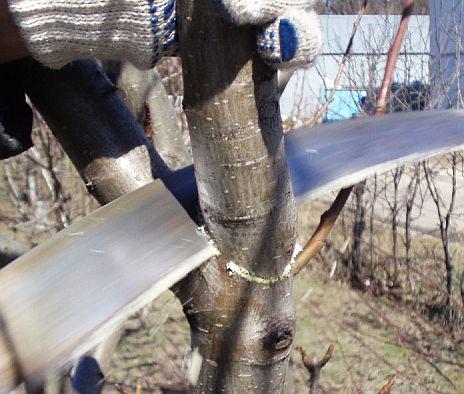 Обрезка плодовых деревьев. 9. Толстые ветки подпиливайте снизу