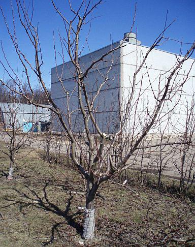Обрезка плодовых деревьев. Груша ПОСЛЕ обрезки