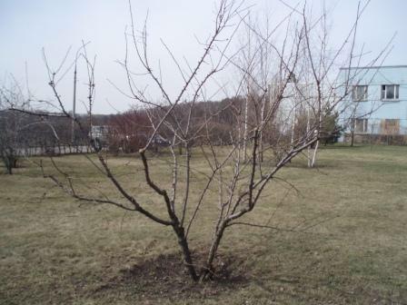 Обрезка плодовых деревьев. Правильно обрезанная молодая вишня