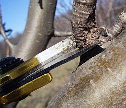 Обрезка плодовых деревьев весной. Обрезка груши. Мастер-класс, фото