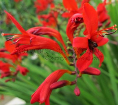 "��������� (����������) ""�������"" � ���� ����. Crocosmia Lucifer"