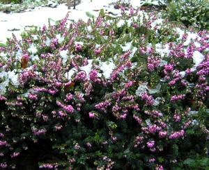 Растение эрика цветет под снегом в моем саду. Февраль 2007 г. Эрика мясистая, румяная, зимний вереск (Erica carnea)
