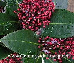 Скиммия (скимия) японская (Skimmia japonica), цветы. Мой сад, январь