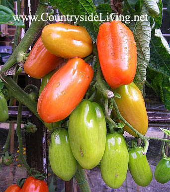 Томаты Сан Марцано (San Marzano) у меня в теплице - высокий индетерминантный вид помидора