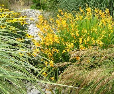 Крокосмия (монтбреция) в саду для засушливых регионов. Crocosmia