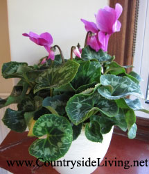 Цветок цикламен  рекомендации по уходу в домашних условиях
