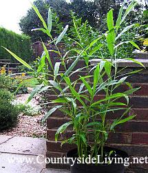 Имбирь фото растения