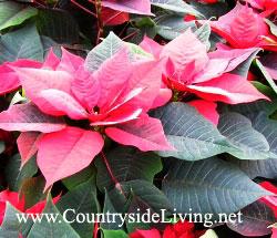 Пуансетия (пуансеттия), рождественская звезда, молочай прекраснейший - как комнатное растение