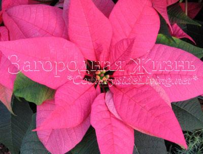 Пуансетия (пуансеттия), рождественская звезда. Прицветники очаровательного насыщенно-розового окраса и невзрачные желтоватые цветы